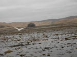 Kelp Forest and Heron near Cayucos